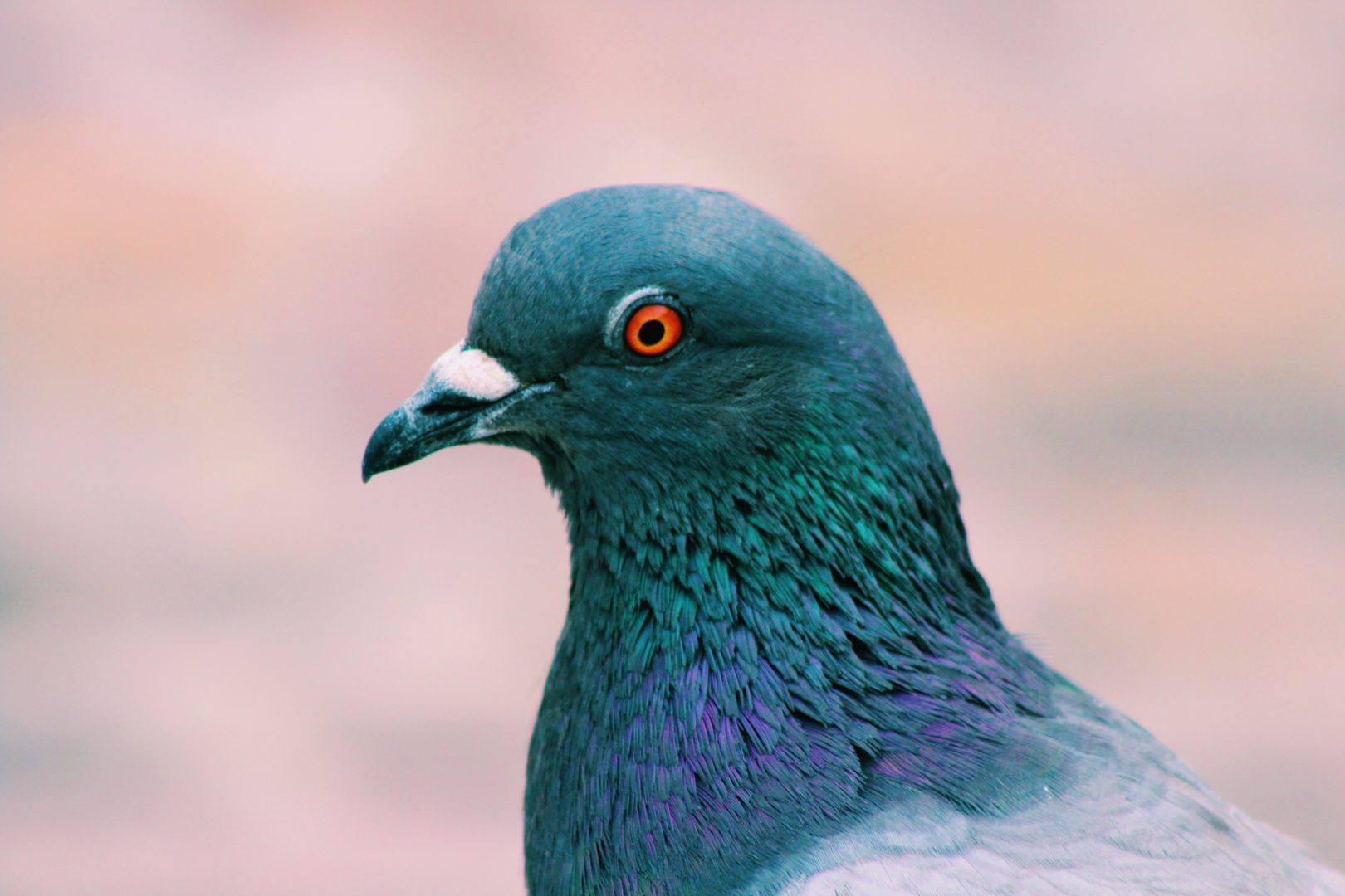 Google 'Pigeon' Update
